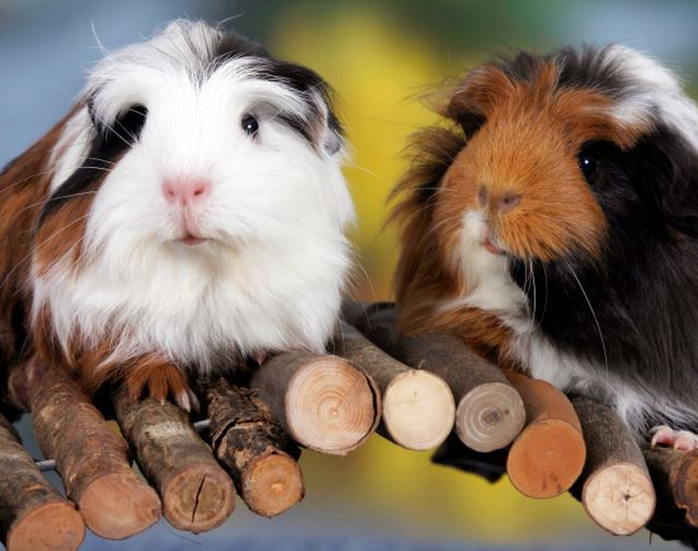 Social Rights for Swiss Guinea Pigs