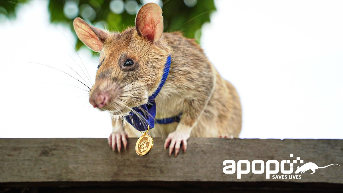 Hero Rat Receives Award for Life-Saving Bravery