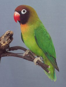 The black-cheeked lovebird (Agapornis nigrigenis)