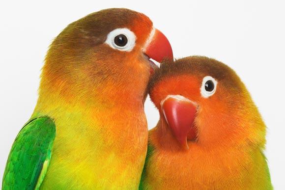 Valentine's Lovebird Fun Facts